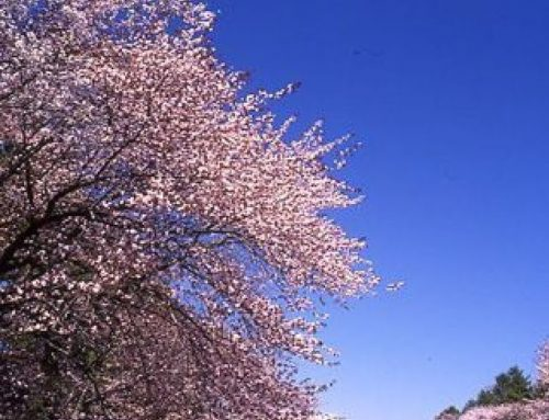 北海道のお花見事情